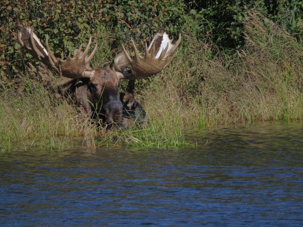 D moose at lake