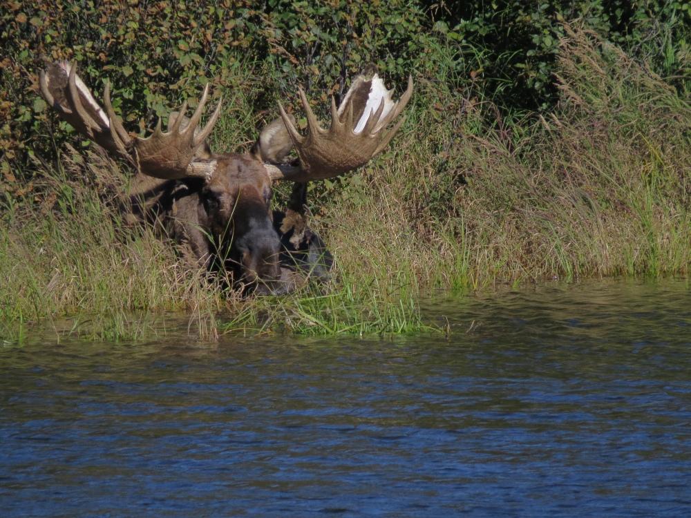 D moose at lake