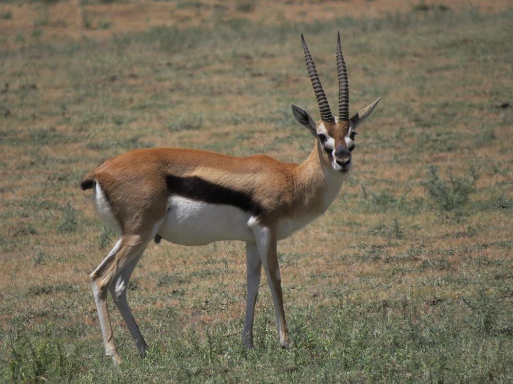 gazelle 2 good