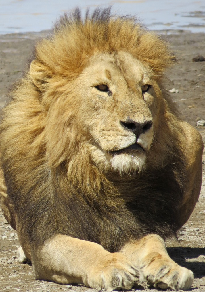 good lion 2