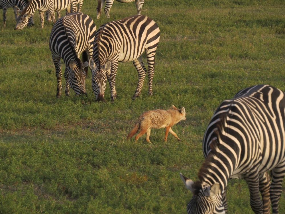 jackel w zebras