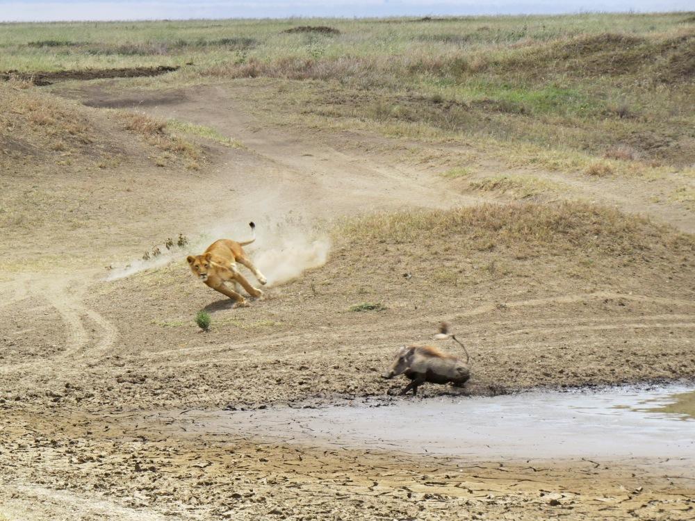lioness stalking wart hog 5