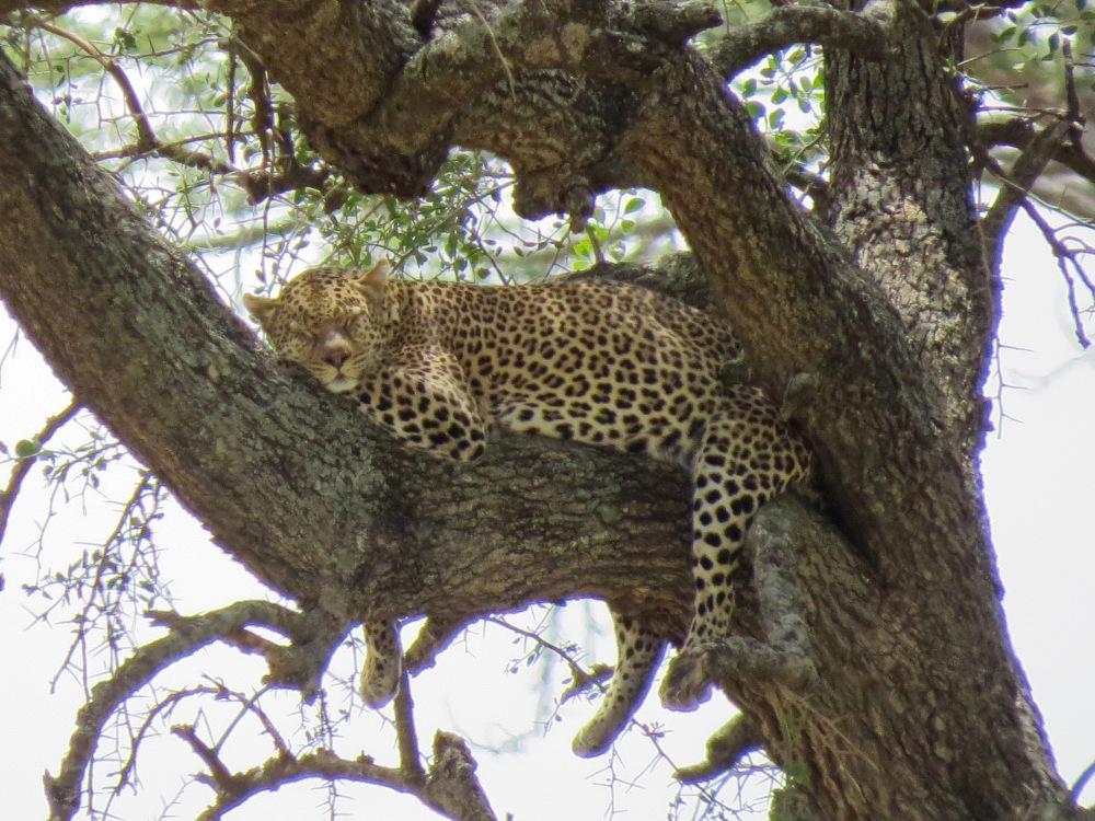 m leopard