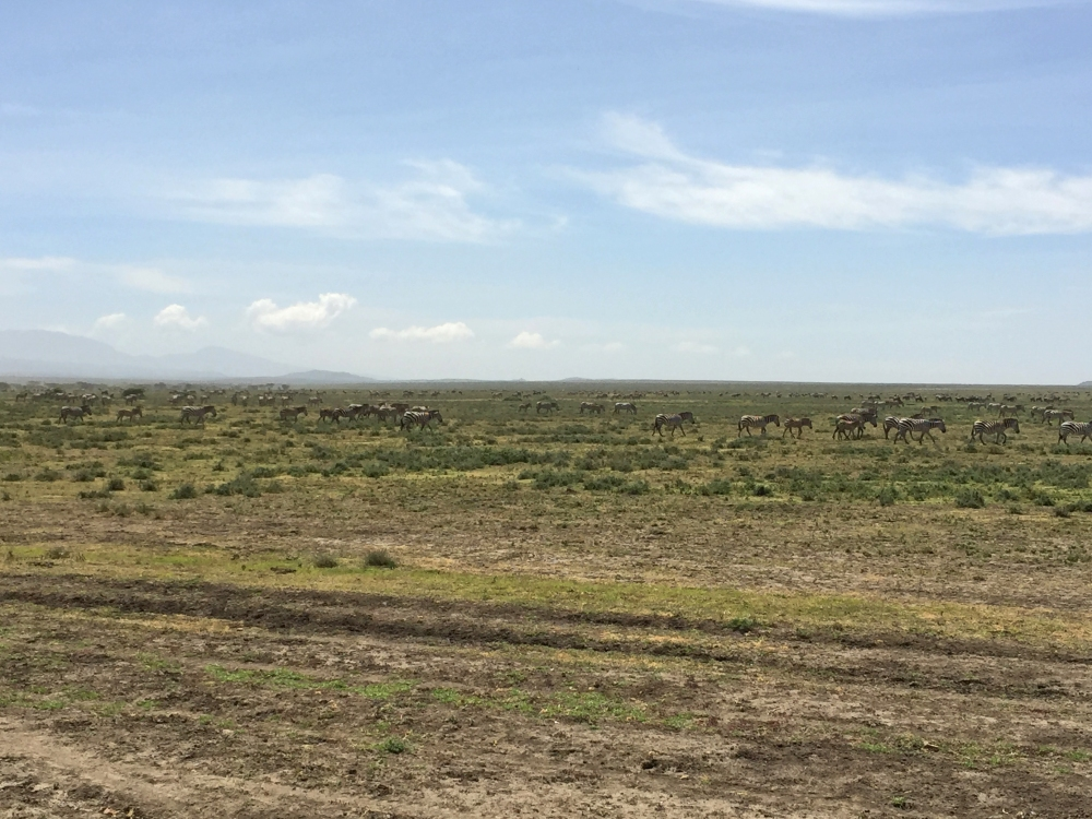 ndutu vastness w zebras 2