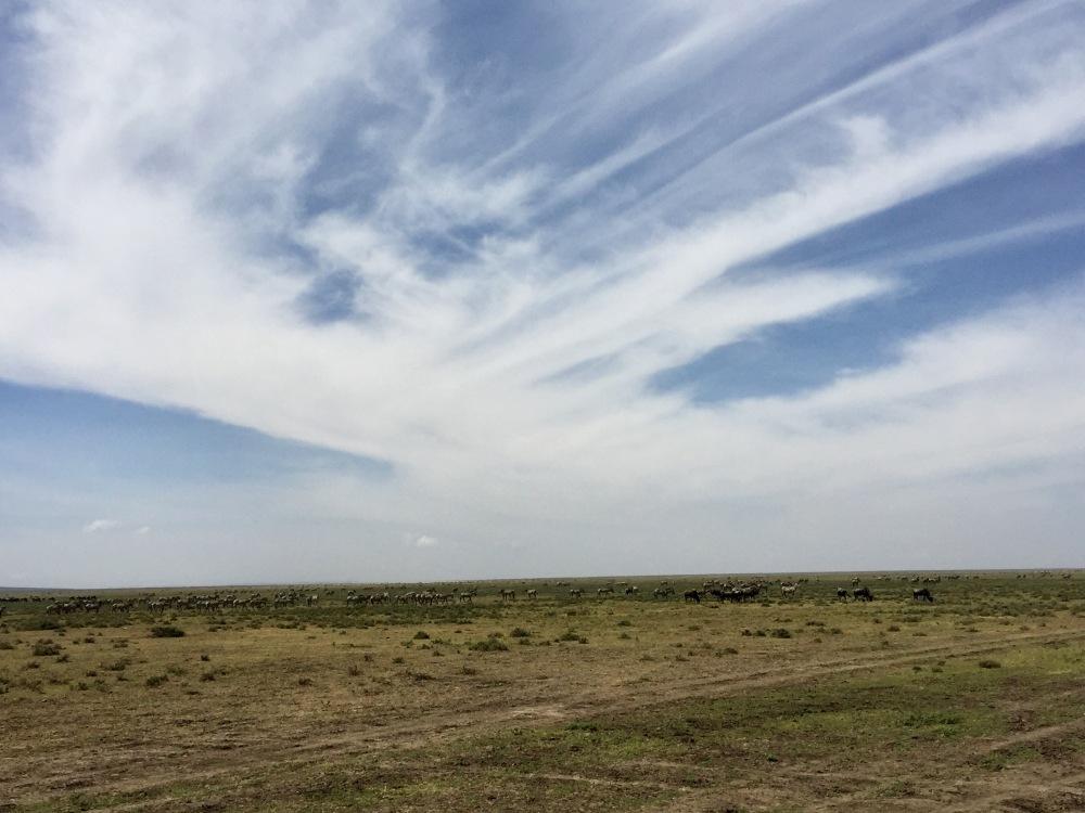 Ndutu zebra landscape