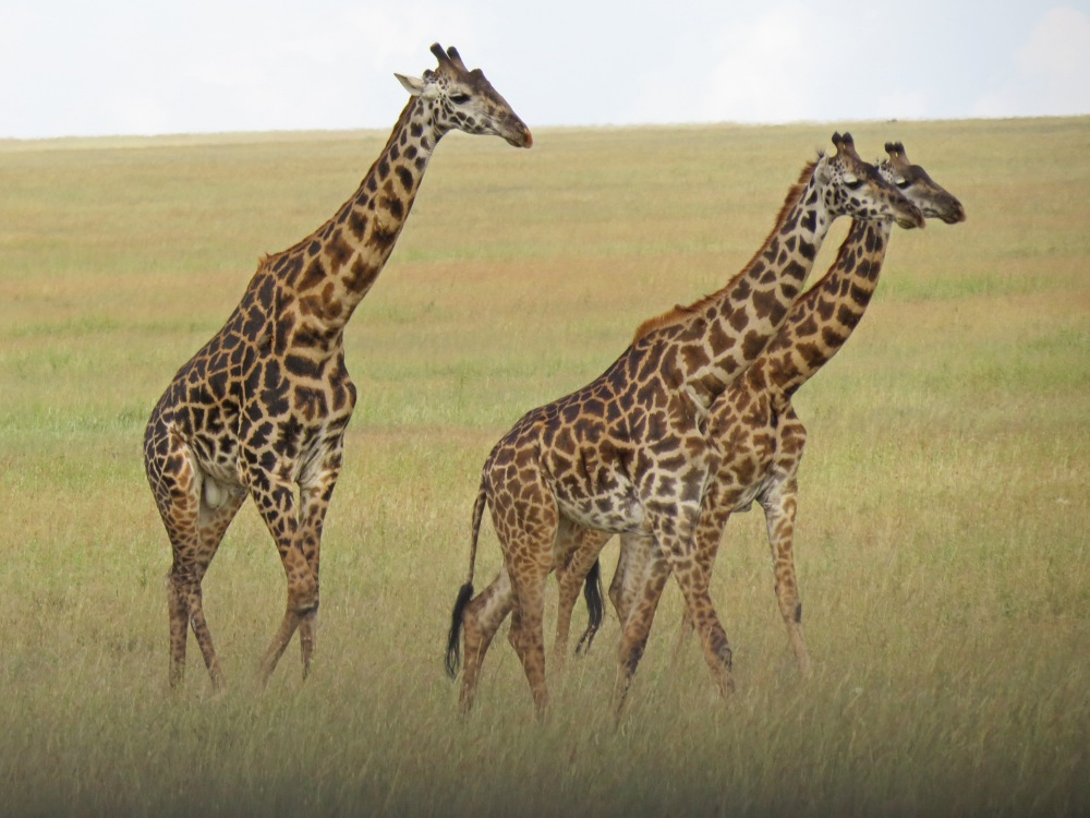 Three giraffes good