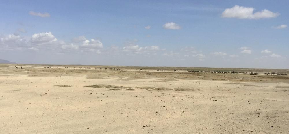 vastness w zebras