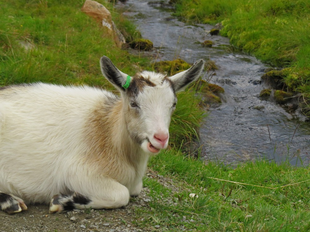 g farm goat 3